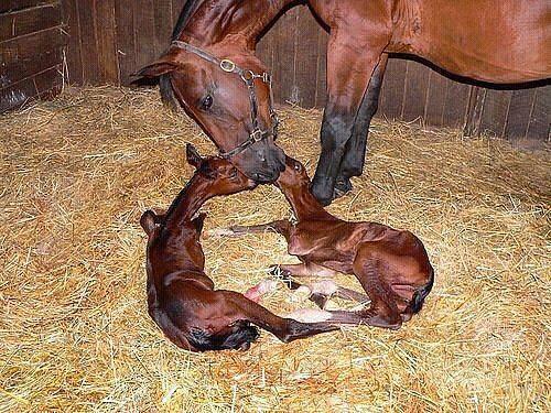 Biddemi nascono due muli con parto gemellare al for Asino e cavalla