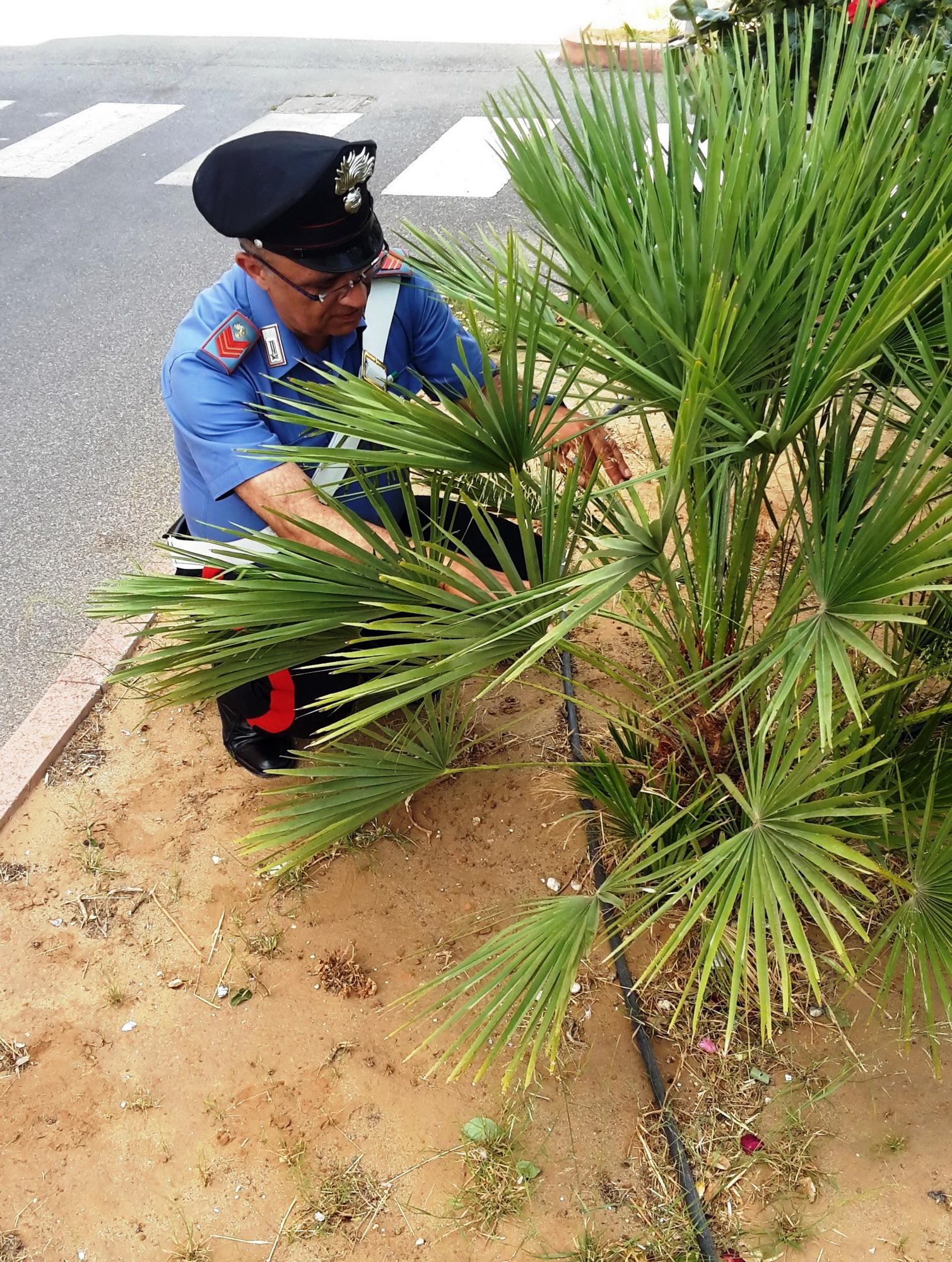 Vittoria – Nasconde droga nella corteccia di una palma, tunisino arrestato da carabiniere fuori servizio