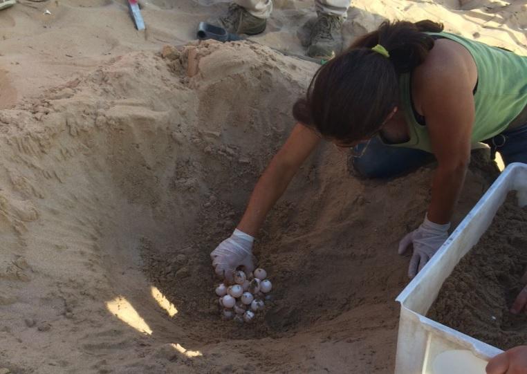 Tarty, le 54 uova sono al sicuro: il nido spostato in mezzo alla spiaggia FOTO