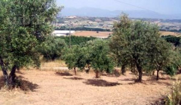 Modica – In contrada Zimmardo avvelenate centinaia di piante di carrubo e di ulivo, allarme del M5S