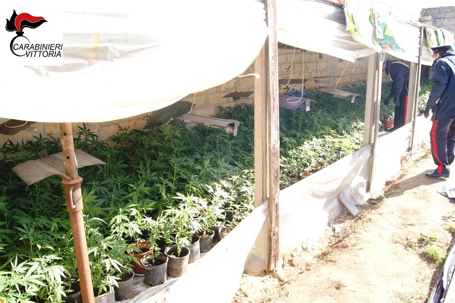 Comiso, scoperte 700 piante di marijuana in una serra: due arresti