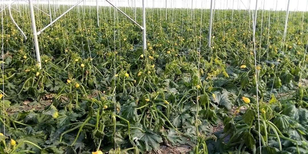 Gelate nel Ragusano e a S.Croce, distrutto il 20% delle produzioni di zucchina