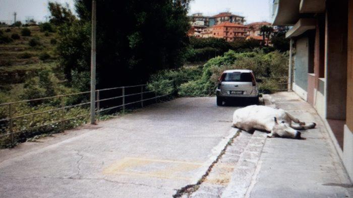 Ragusa, una mucca imbizzarrita spaventa i passanti e viene abbattuta