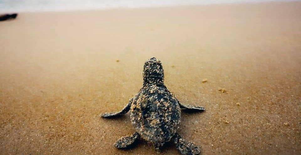 Sono nate! A Casuzze la schiusa delle tartarughe Caretta caretta FOTO